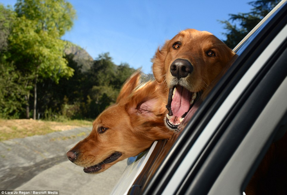 labrador dogs riding in cars
