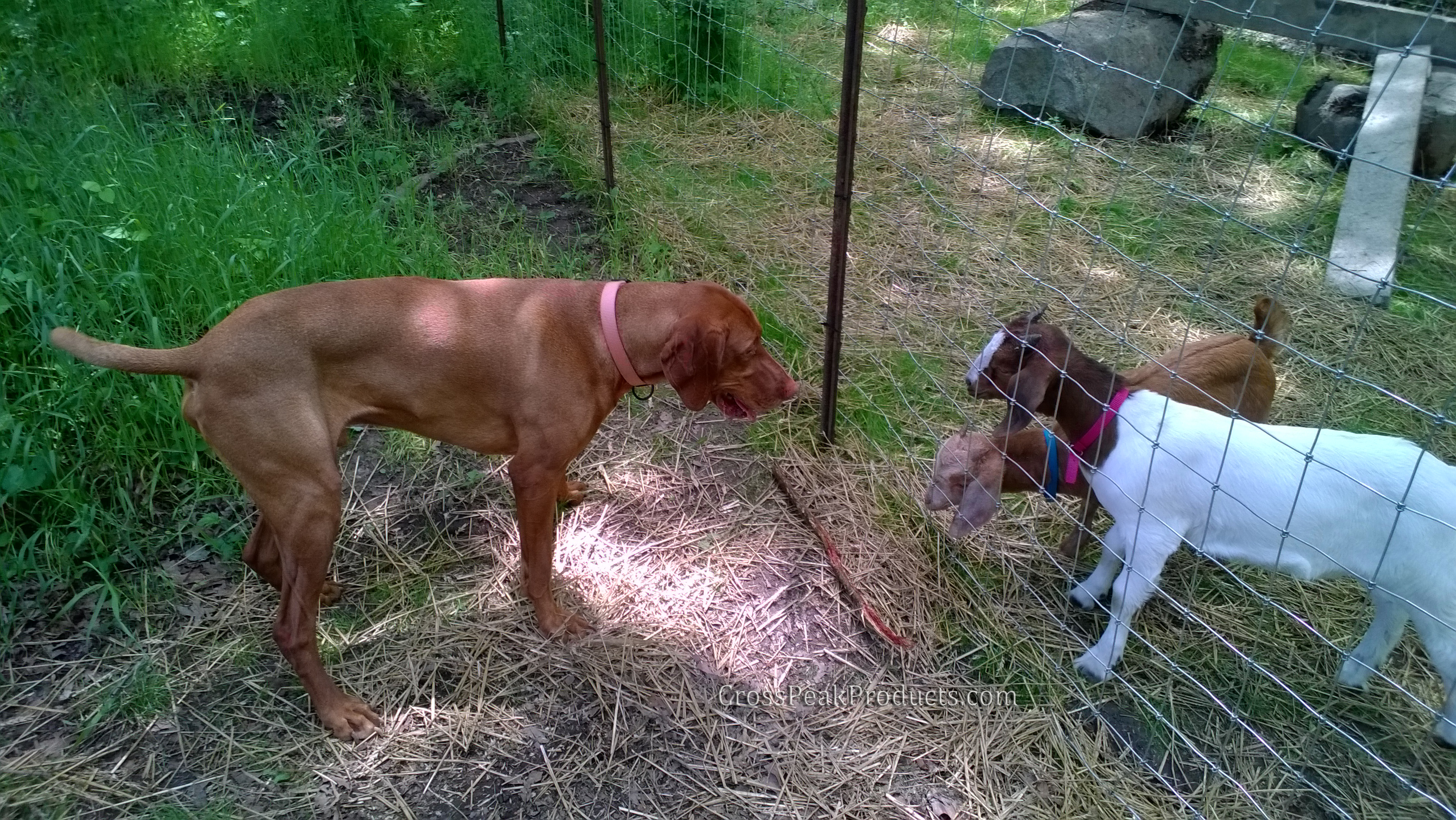 vizsla dog playing with goats