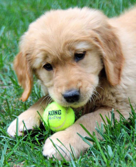 dogs-love-tennis-balls