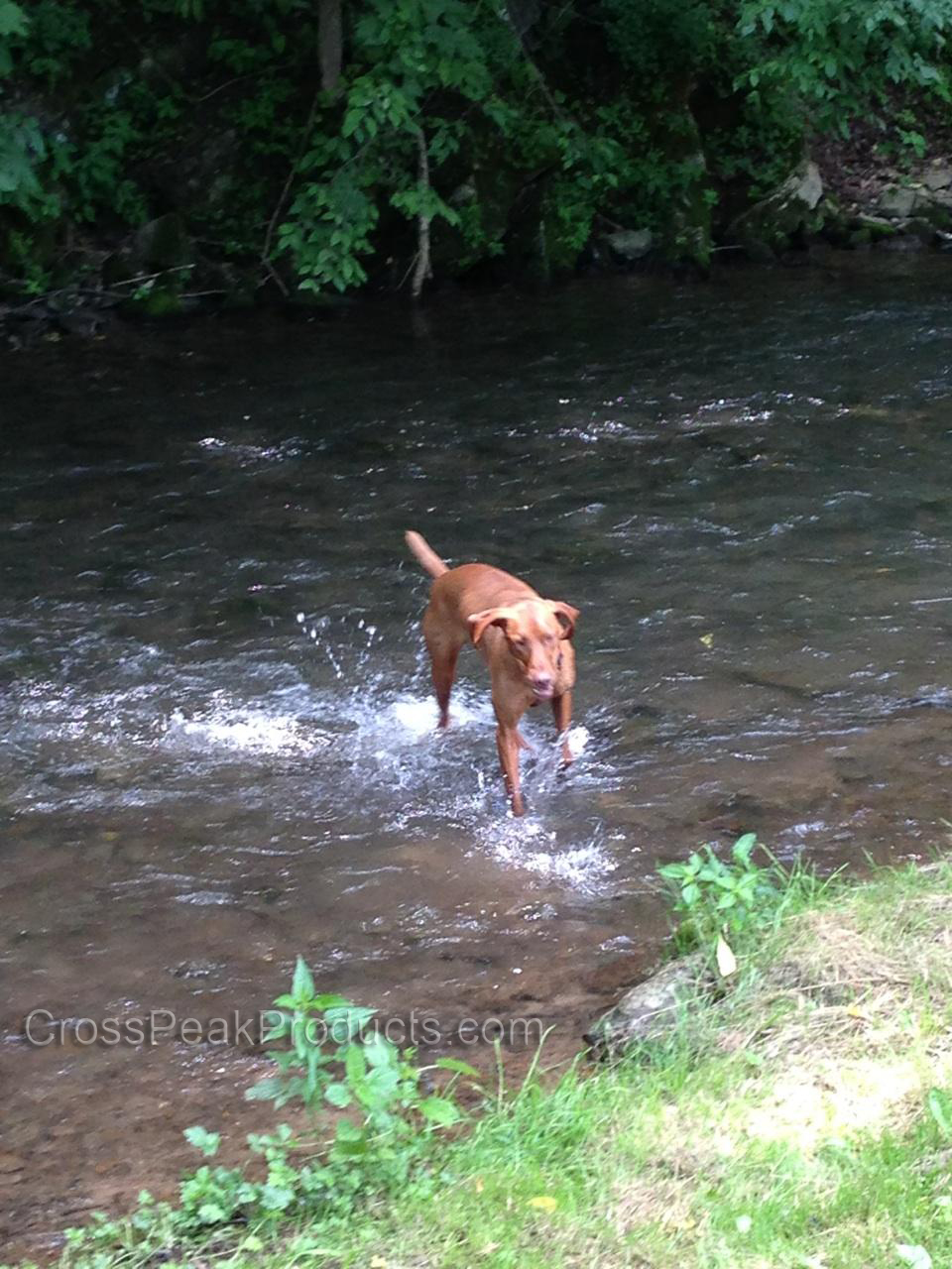 Dog Playing in the Creek
