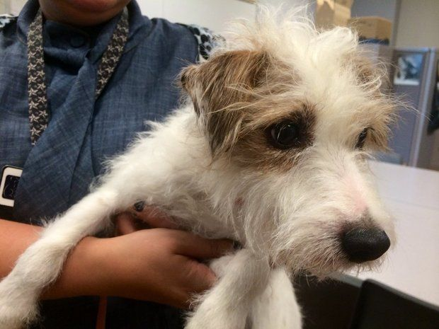 jack-russell-terrier-found-after-being-missing