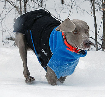 great-white-dog-winter-coat