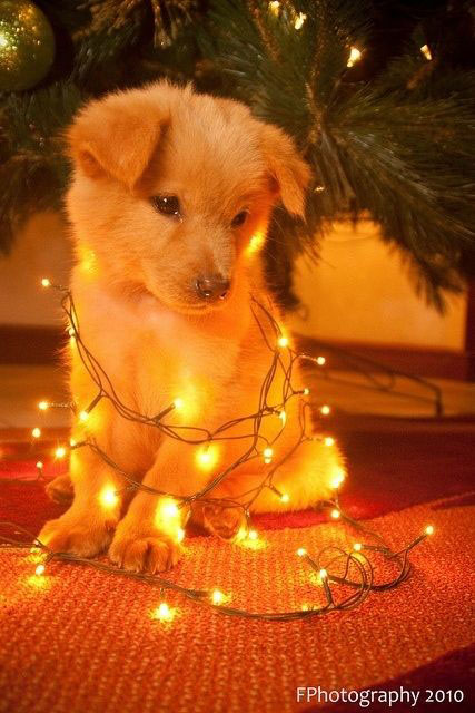 christmas-lights-on-dog