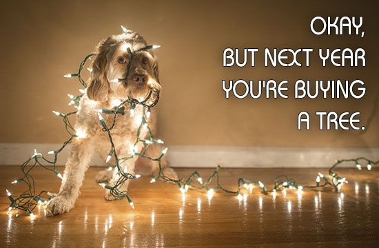 cockapoo-and-christmas-lights-with-funny-caption