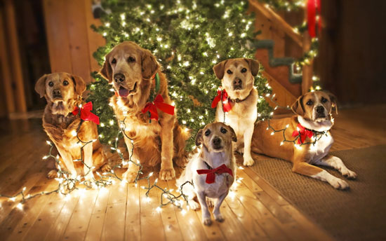 dog-family-christmas-pictures