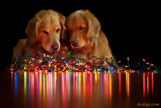 dogs-looking-at-christmas-lights
