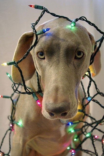 weimaraner-with-christmas-lights