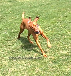 Vizsla Running, Benefits of Fish Oil For Dogs - Active & Healthy